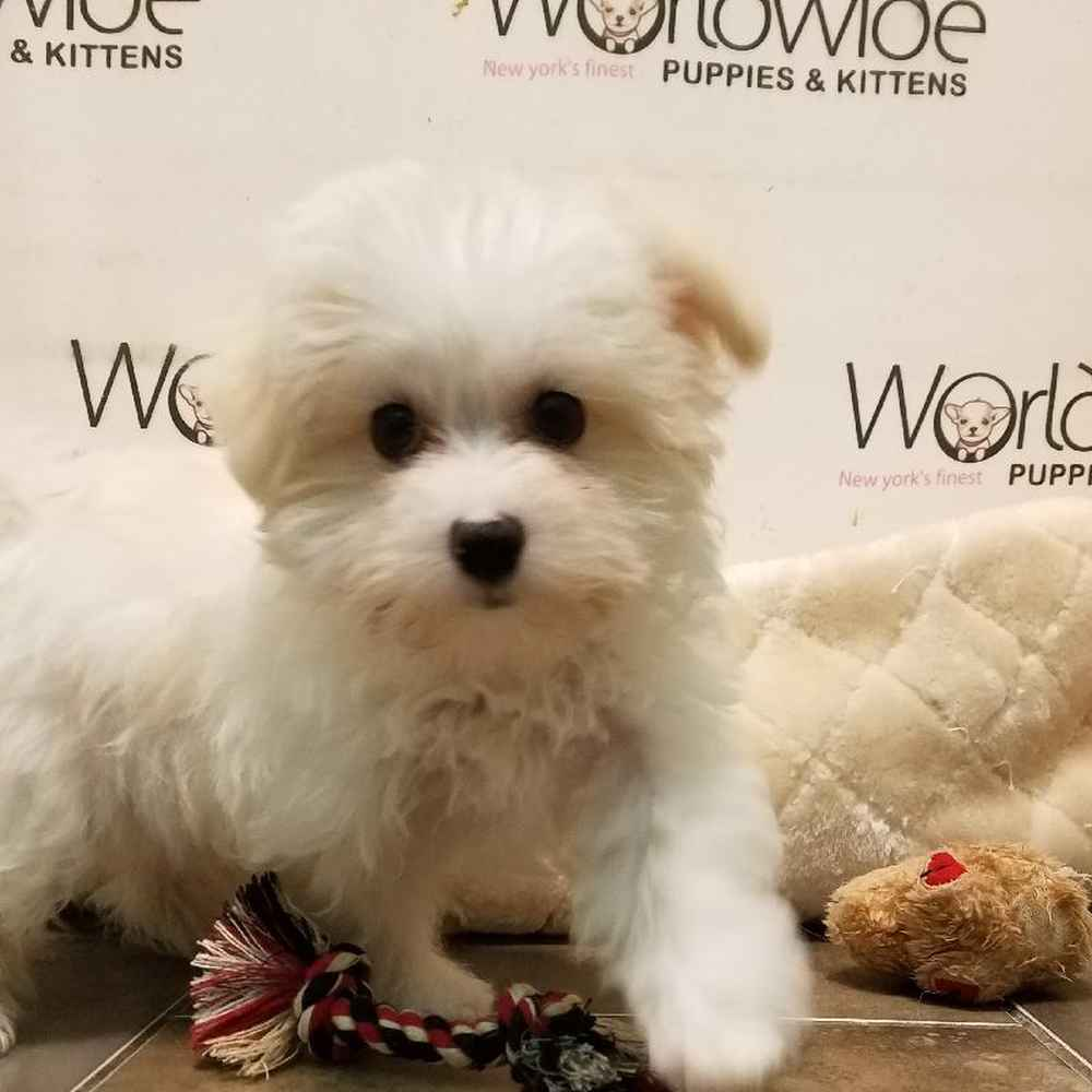 Male Bichapoo Puppy for sale