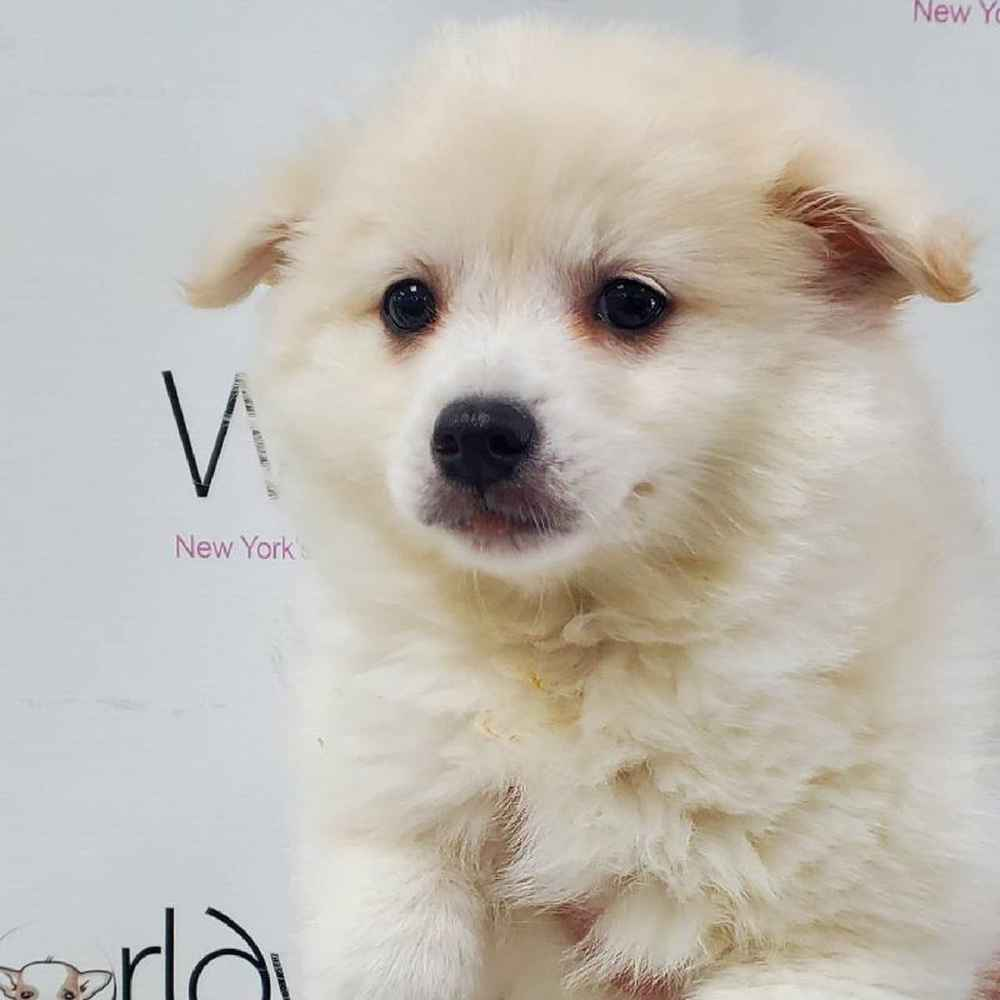 Male Pom/American Eskimo Puppy for sale