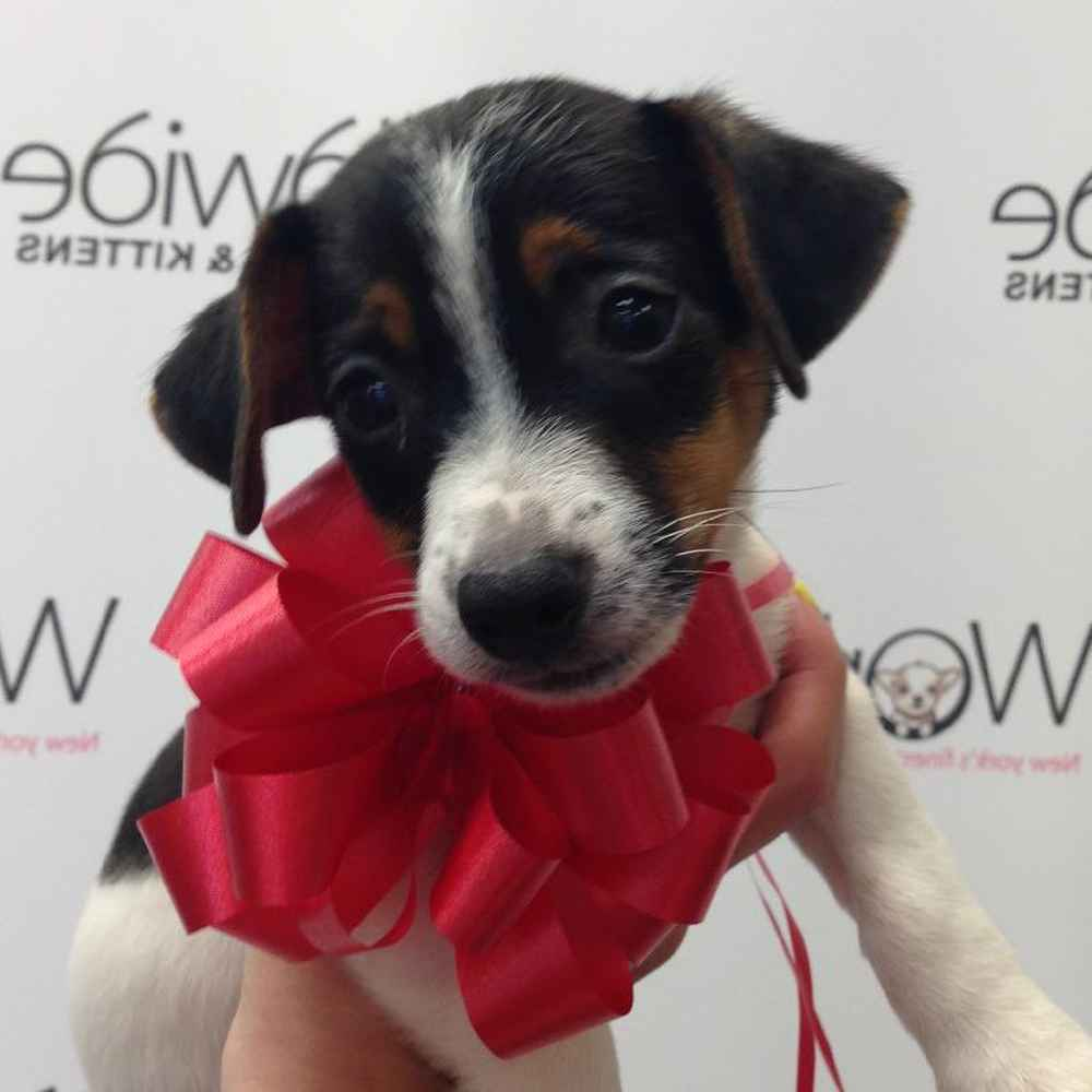 Female Jack Russell Terrier Puppy for sale