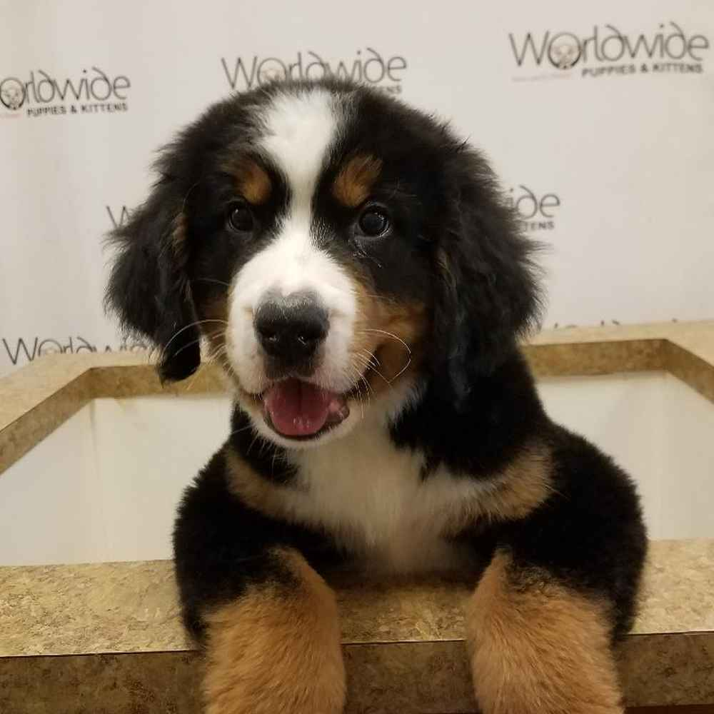 Male Bernese Mountain Dog Puppy for sale