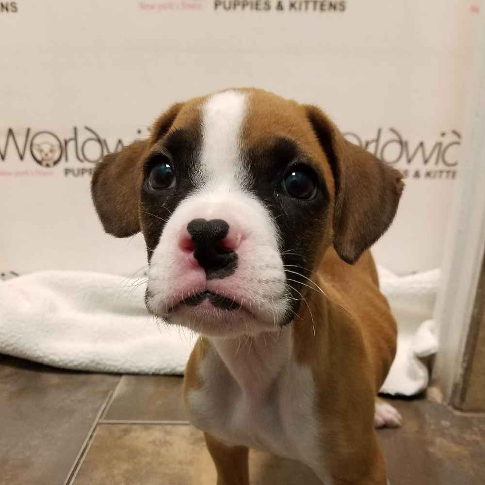 Male Boxer Puppy for sale