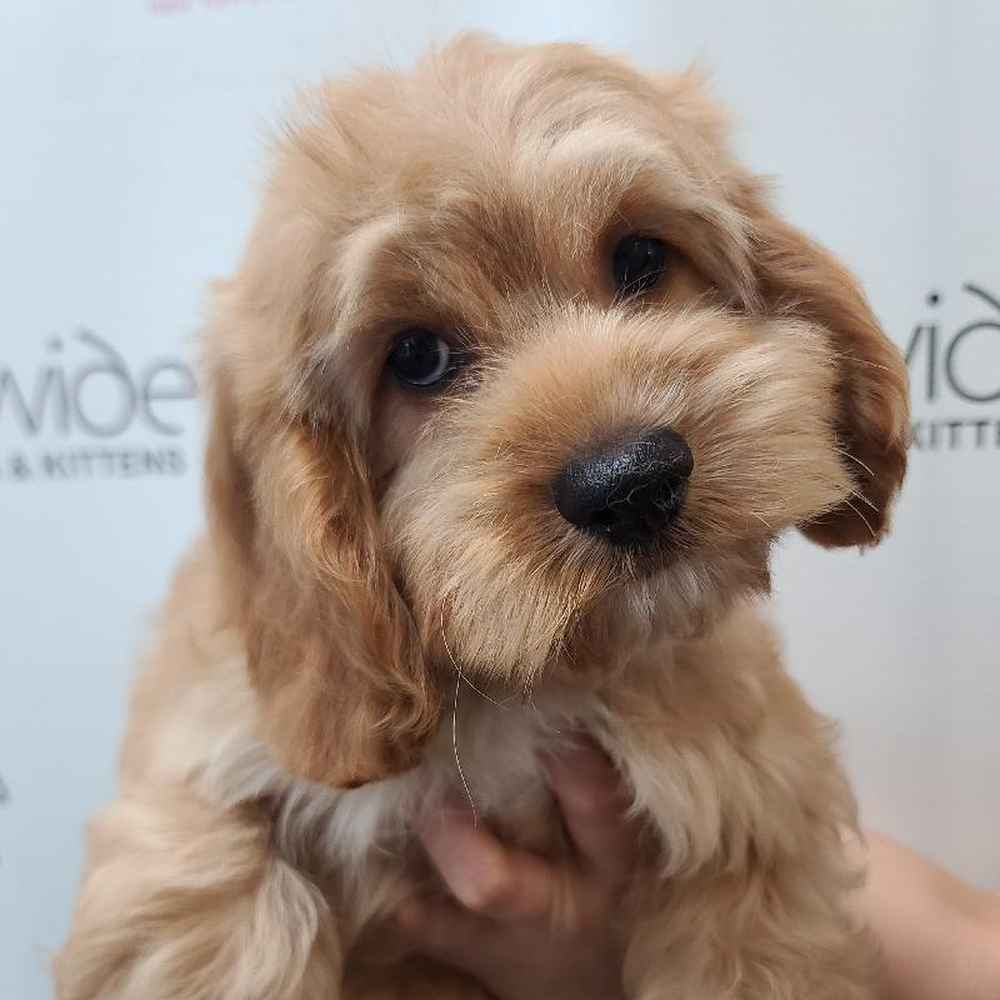 Male Cockapoo Puppy for sale